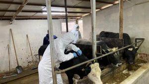 Düzce'de hayvan hastalıkları ile mücadele sürüyor