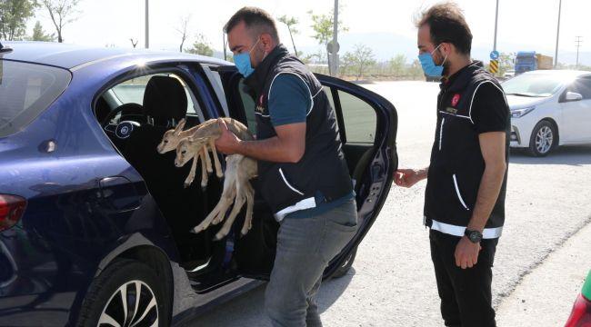 Durdurulan otomobilden ceylan yavruları çıktı
