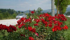 Şehir güllerle donatılıyor